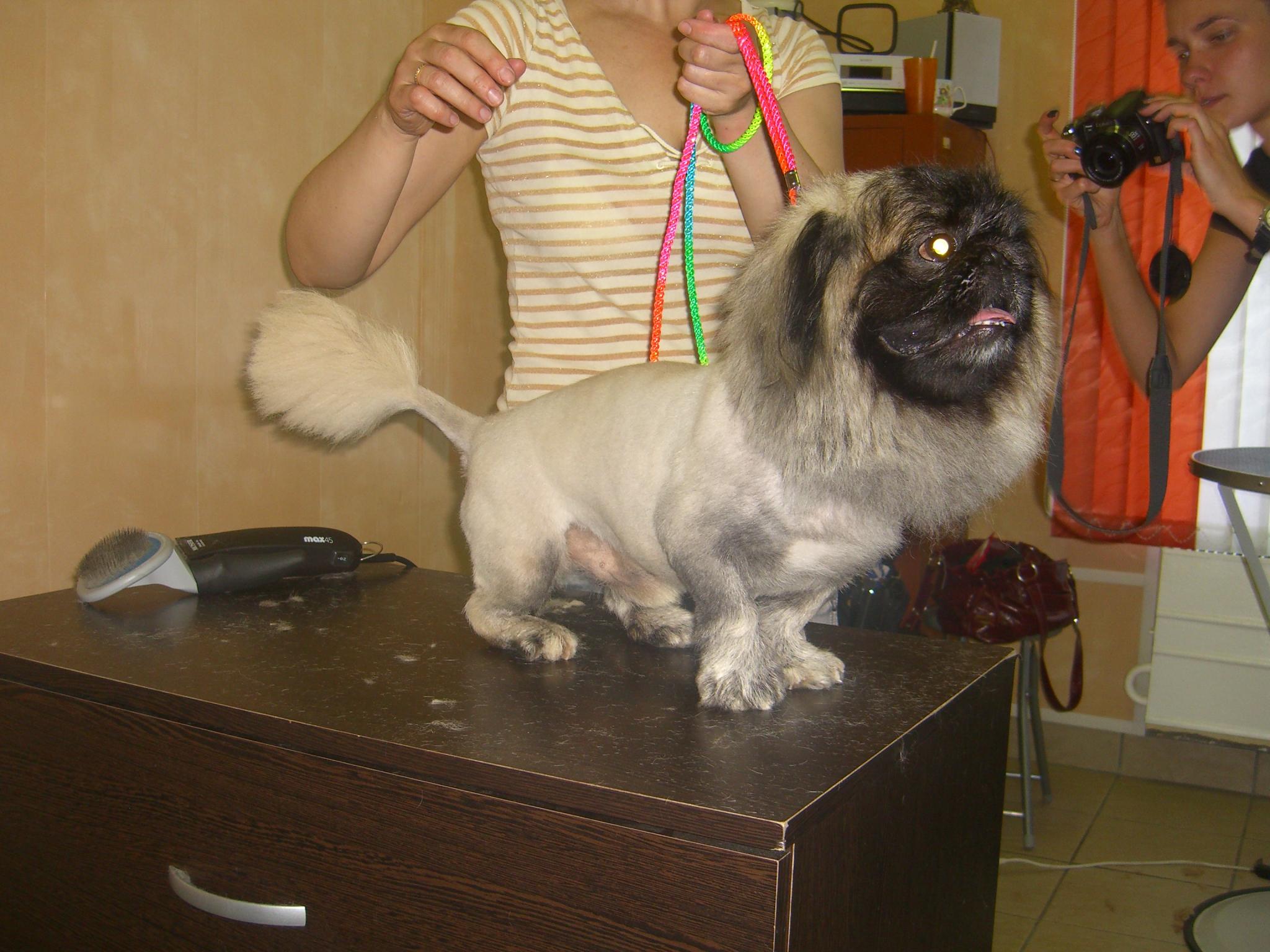 Подстричь пекинеса в домашних условиях